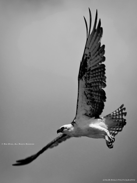 An Osprey (Pandion haliaetus) photographed in the wild in the Exuma Cays of the Bahamas in 2011.