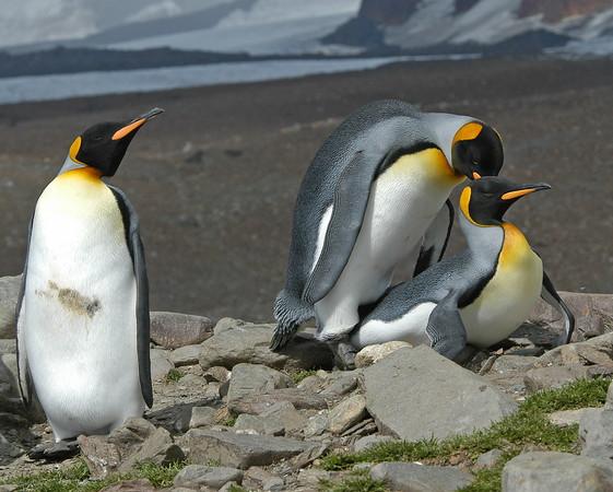 Antarctic-KingPenguins