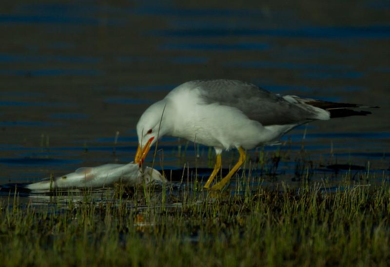 California Gull Crowley Lake 2012 05 22 (3 of 3).CR2