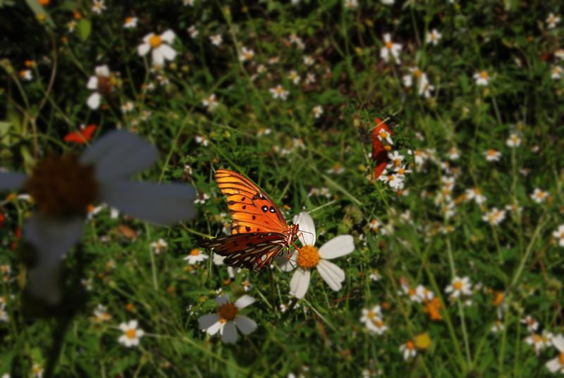 Monarch Butterflys.jpg
