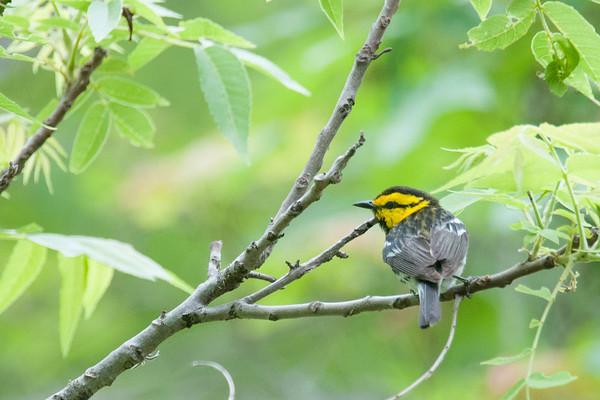 warbler, vireo, tanager, bunting, grosbeak, and thrush
