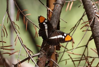 Butterflies California
