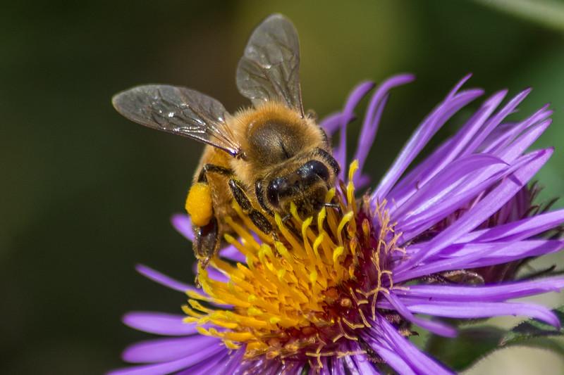 honeybee close (1 of 1).jpg