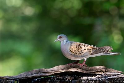 Pigeons / Duvor