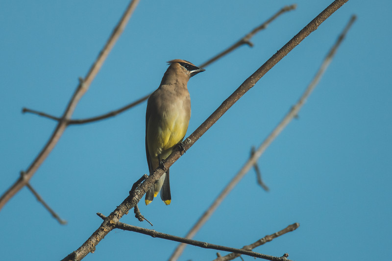 A cedar waxwing at the Celery Bog in West Lafayette, Indiana
