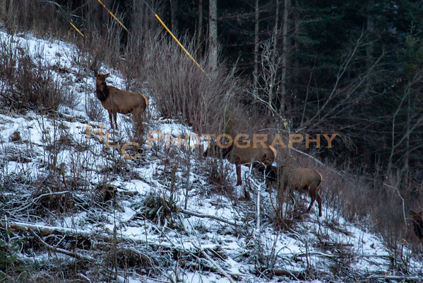 01/16/19 Elk in Osburn, Idaho