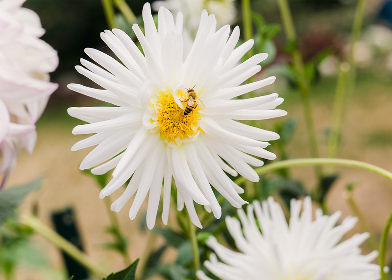 A bee looks for pollen on a white dahlia with a yellow center.