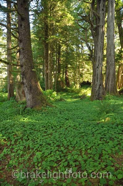 Sitka Spruce Grove in Higgins Passage