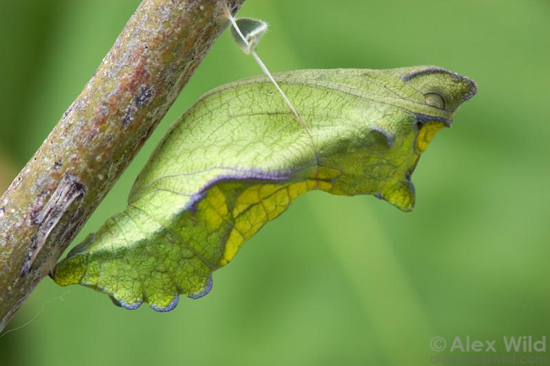 Battus philenor - Pipevine Swallowtail, pupa.  Tucson, Arizona, USA