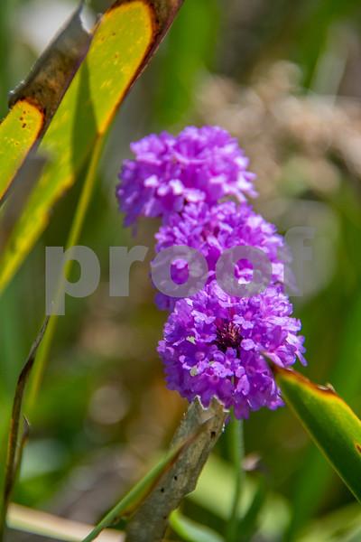 seal rocks flowers 2.JPG