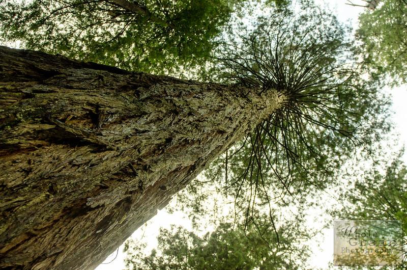 20141015_Redwoods_0024.jpg