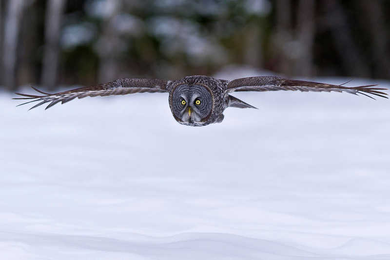Great Gray Owl Inflight Ottawa, Ontario Canada © 2013