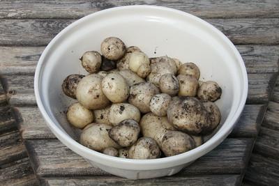 Harvesting New Potatoes - 5 July 2014