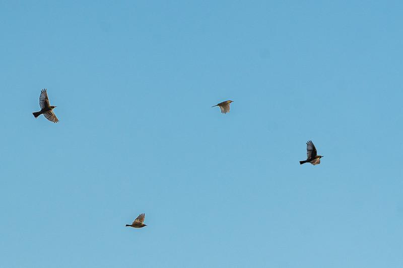 Skylarks in flight 500_3281.jpg