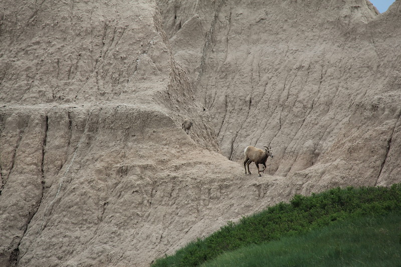 20140523-155-BadlandsNP-MountainGoats.JPG