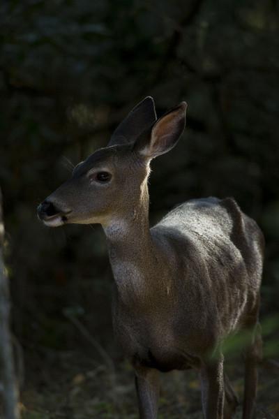 Blacktailed deer, Point Reyes, 10.21.07