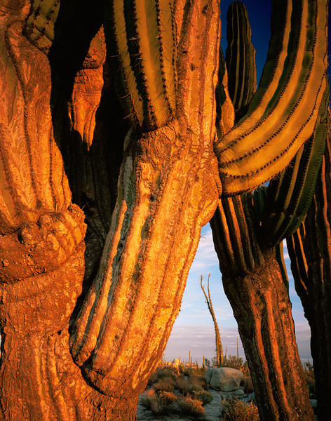 Catavina, Baja California, Mexico / Desierto Central, Sonoran Desert.  Weathered skin of Cardon Cactus, Pachycereus pringlei, with distant Boojum, Fouquieria columnaris, at sunset.. 22002V3