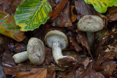 26.09.2015 - Lactarius blennius