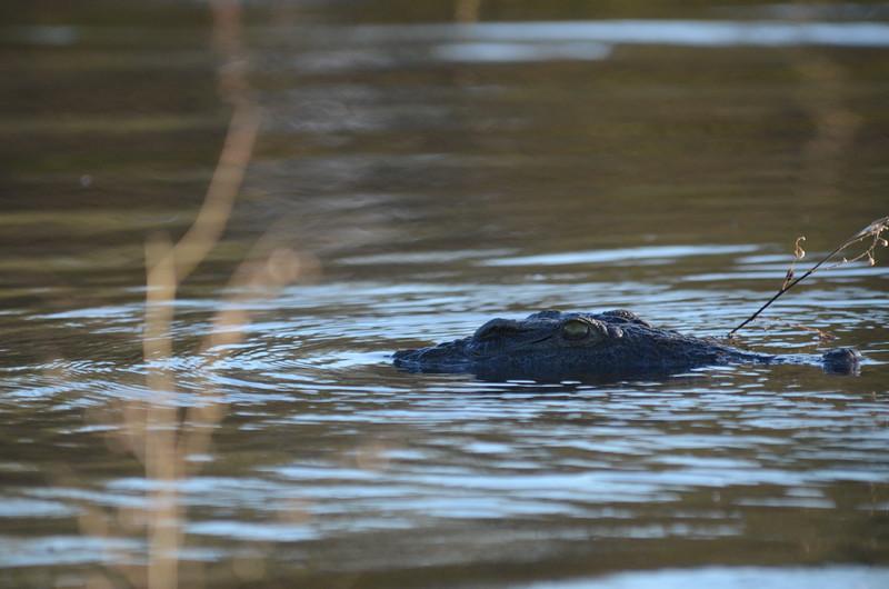 107 - Nile Crocodile - Zambia - Anne Davis