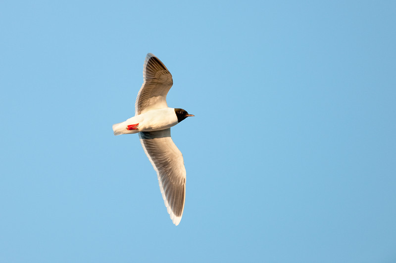 Little Gull , Dvärgmås