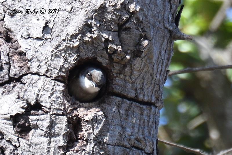 Tree Swallow - 06/01/2018 - Lake Hodges-Bernardo Bay Trail