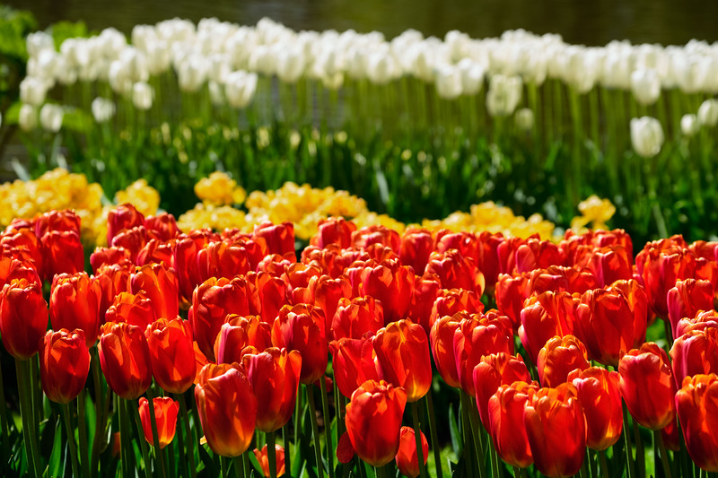 Blooming tulips flowerbed in Keukenhof flower garden, Netherlands