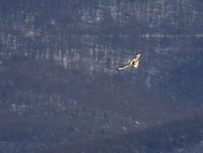 Rough-legged Hawk: Augusta Co., VA