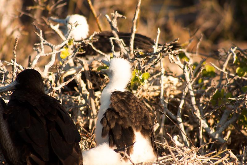 Journey into Baltra Island in the Galapagos Archipelago 25 Frigate Bird Children