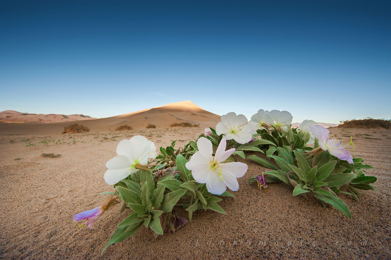 The endangered Eureka Dunes Evening Primrose at sunrise in Death Valley National Park