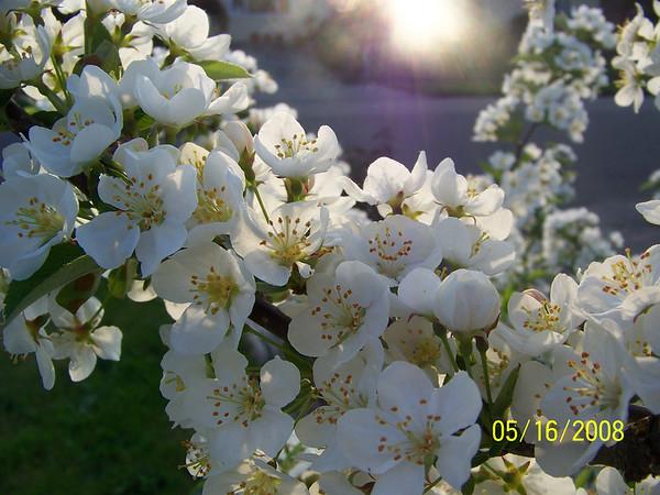 Crab apple Tree, Spring 2008