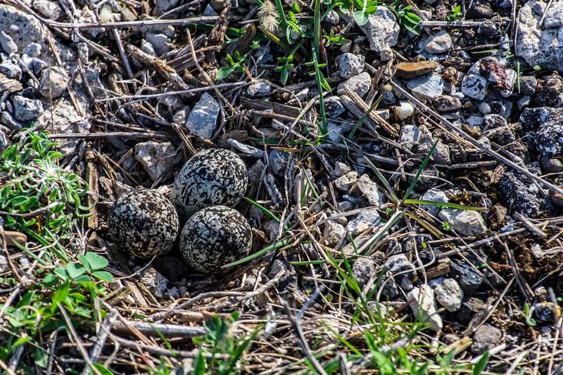 Arlington-Killdeer-nest-3eggs-April13b.jpg