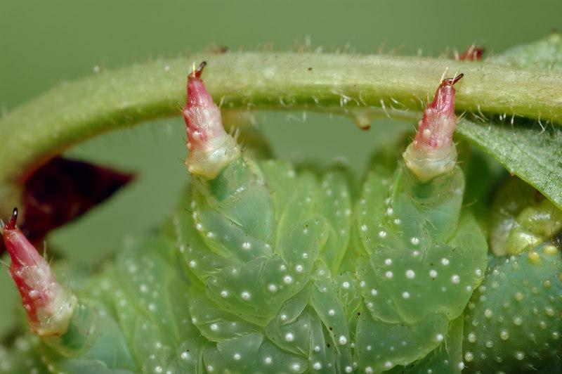 hornwormfrontlegs2.jpg
