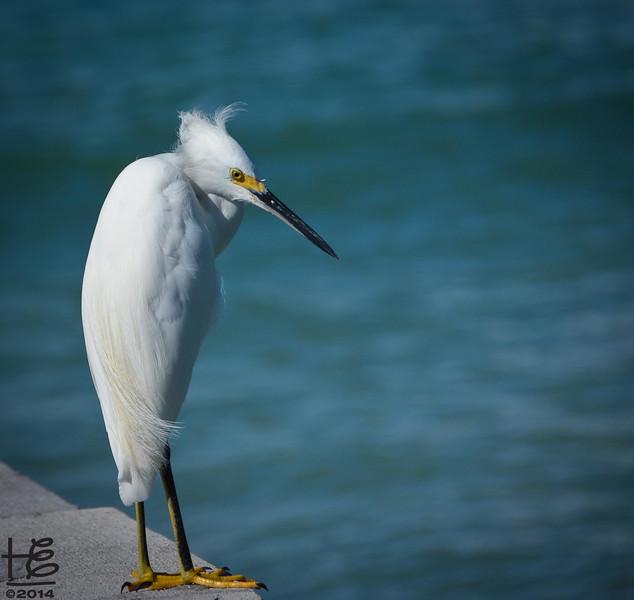 egret on old pier