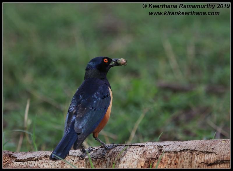 Superb Starling, Ngorongoro Crater, Ngorongoro Conservation Area, Tanzania, November 2019