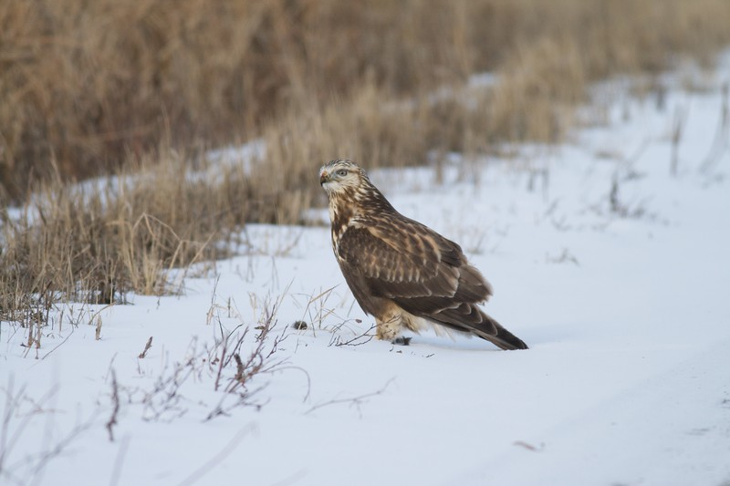 A Rough-legged Hawk feeding on a small rodent it just caught [December; Sax-Zim Bog, Minnesota]