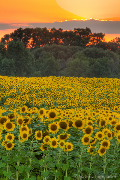 Sunflower fields near Fond du Lac, WI.