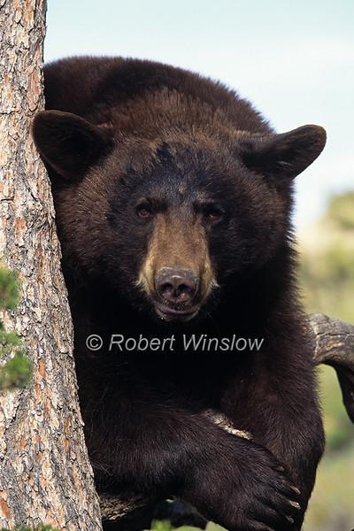 Bears - Black Bears