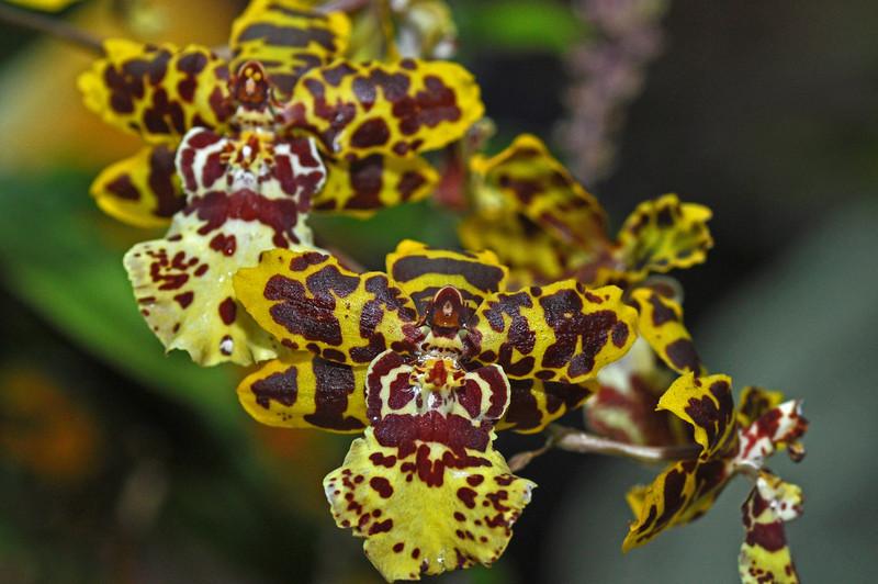 yellowbrownorchid.jpg