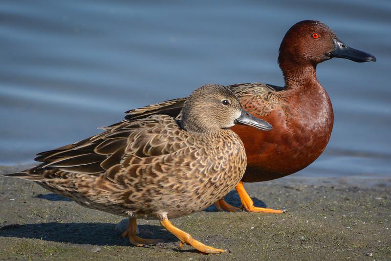 Cinnamon Teal Drake and Hen