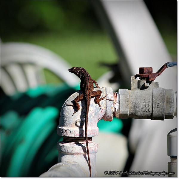 2014-06-06_IMG_0828__Anole Lizard,Clearwater,Fl..JPG