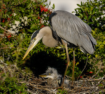 GBH young at nest