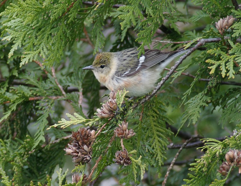Female Bay-breasted Warbler [May; Park Point, Duluth, Minnesota]