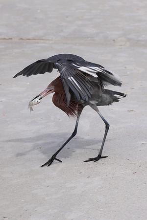 Reddish Egret Series