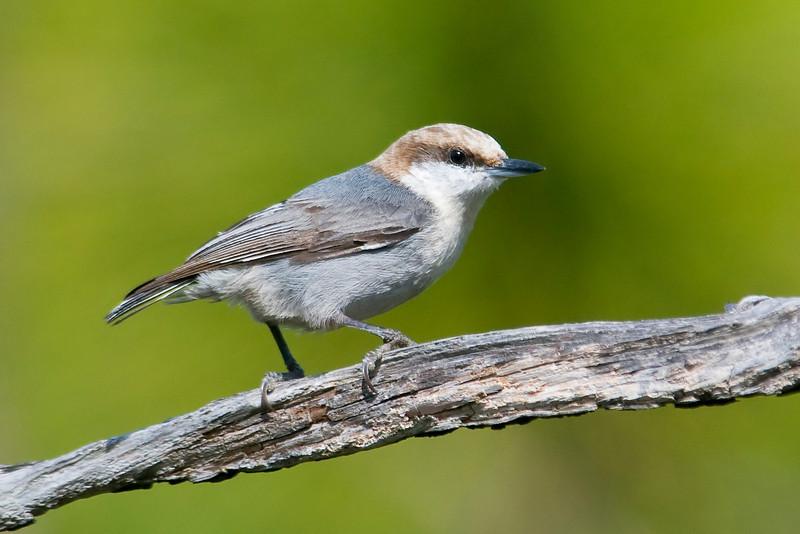 Nuthatch - Brown-headed - St. Joe's Peninsular State Park - FL - 01