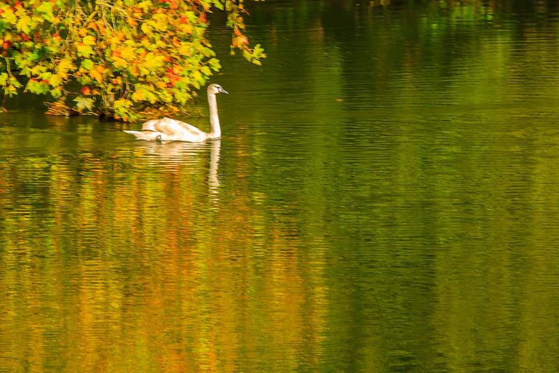 Brown Swan on the Seine