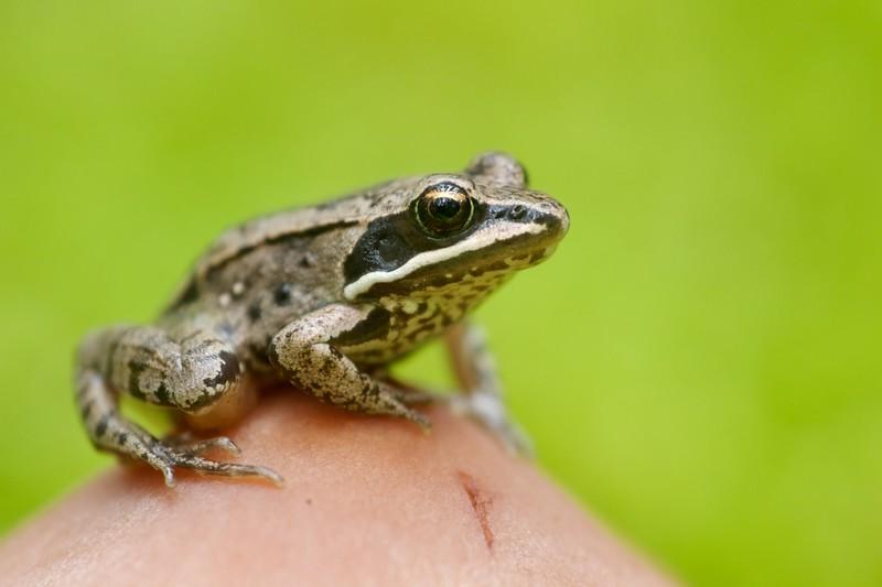 Wood Frog Rana sylvatica Sax-Zim Bog MN IMG_0027293.jpg