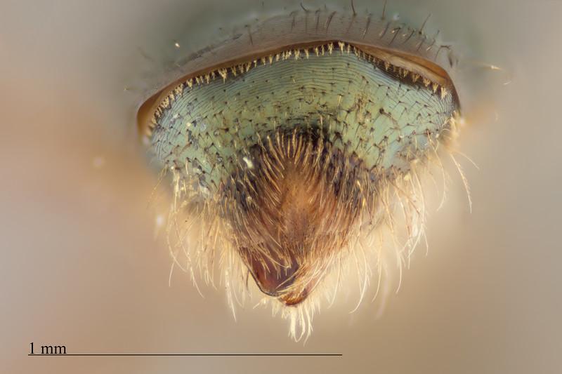 Homalictus nadarivatu female
