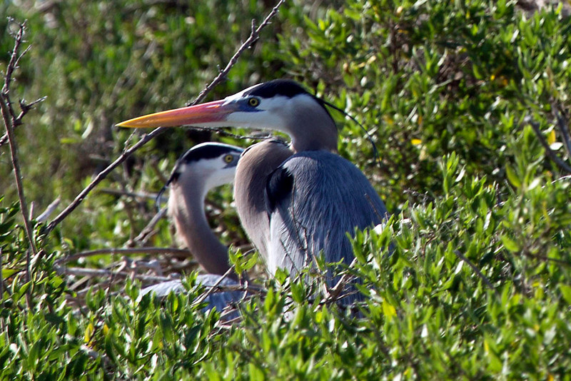 Two great blue herons in their nest.