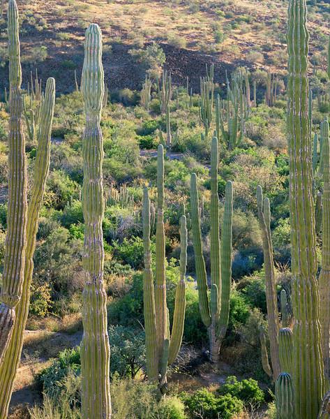 Baja California Sur, Mexico / Cardon Cactus, Pachycereus pringlei, forest on Bahia Concepcion's eastern shore. 22002V3