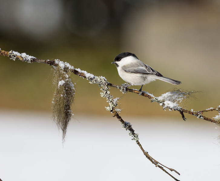 WIllow tit braving the cold